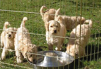 Puppies in pen at 6 weeks