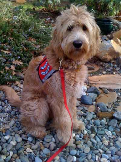 Sierra Vista Labradoodles -- Breeders of Labradoodles and
