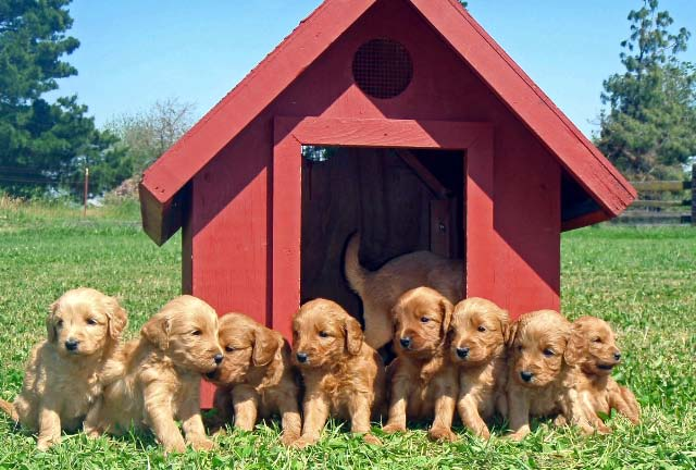 pups in the dog house